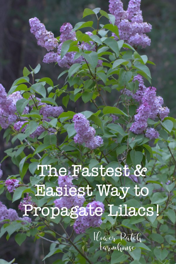 Lilac in bloom with text overlay, the fastest and easiest way to propagate lilacs, Flower Patch Farmhouse