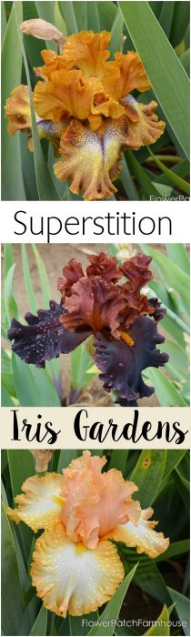 Superstition Iris Gardens, a place to find gorgeous Iris at a great price.