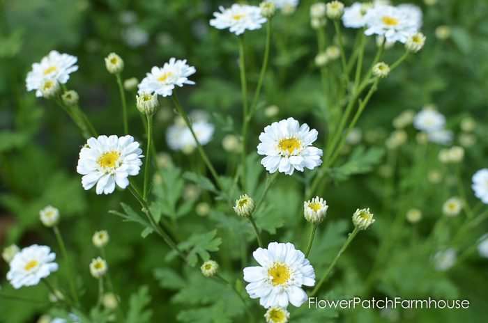 Feverfew, mid June in the Garden