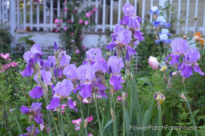 Grape Kookaid Iris