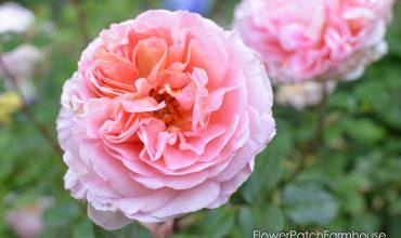Prune & Train Your Eden Climbing Rose (Pierre de Ronsard)