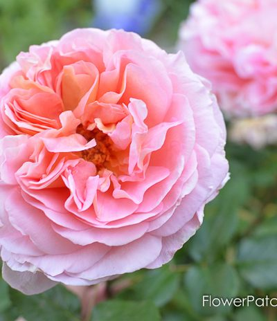 Abraham Darby David Austin Rose