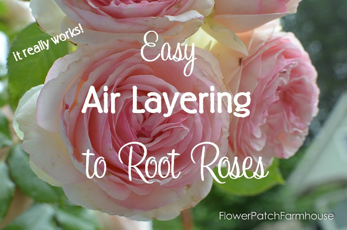 Air Layering to Root Roses