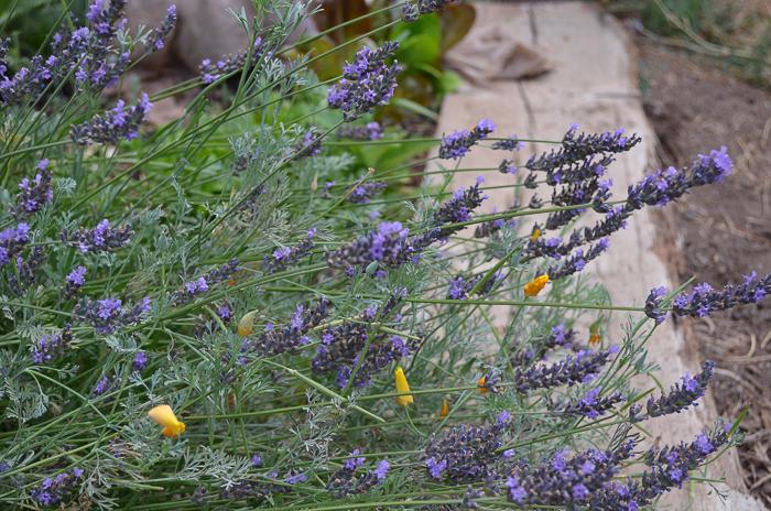 Late Summer Garden 2016, Lavender