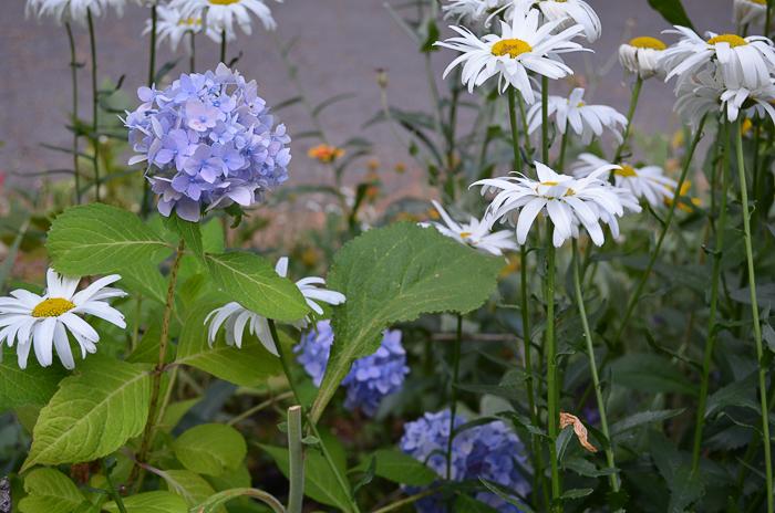 Late Summer Garden 2016, Hydrangea
