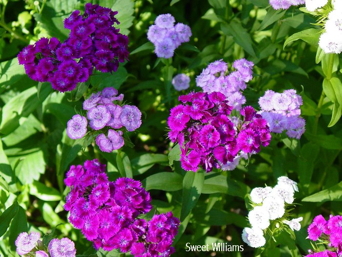 planting for scent, garden for scent, perfume in the garden