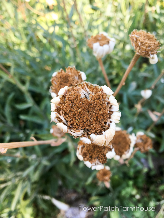 Saving seeds from your favorite flowers is easy and fun to replant for more gorgeous blooms. Plan for next summer by collecting seeds in Fall.