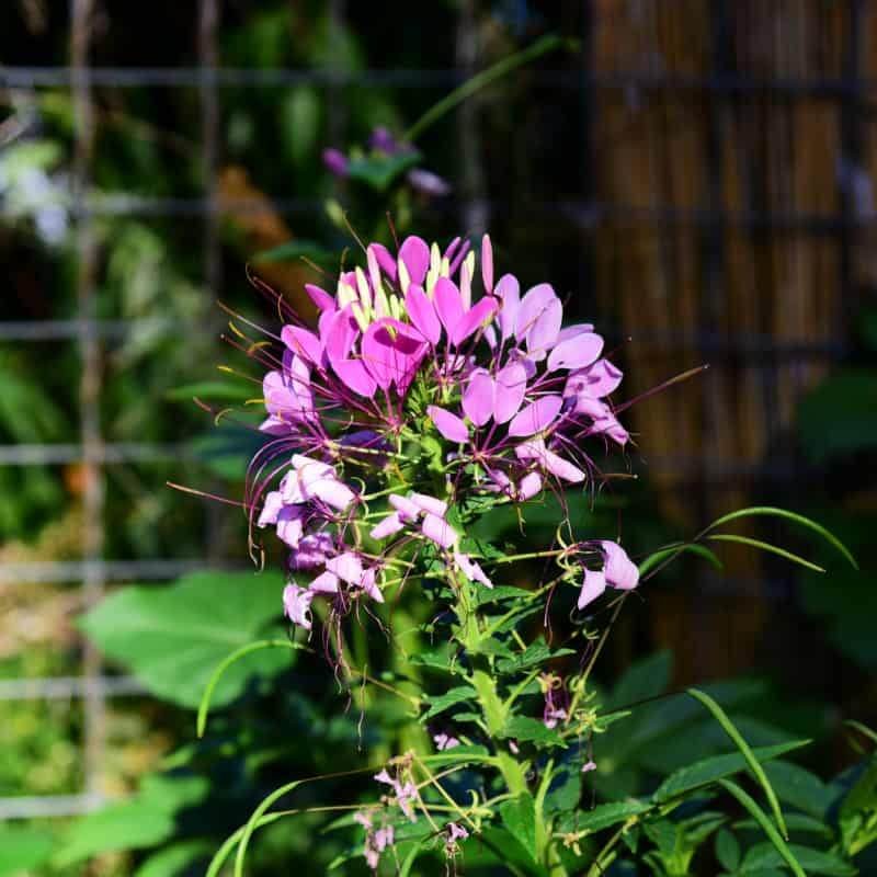 Cleome in the garden at Flower Patch Farmhouse