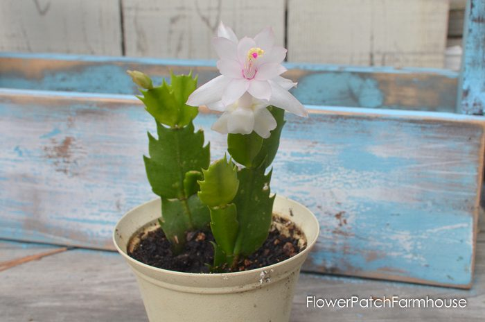 Christmas Cactus or Thanksgiving Cactus?
