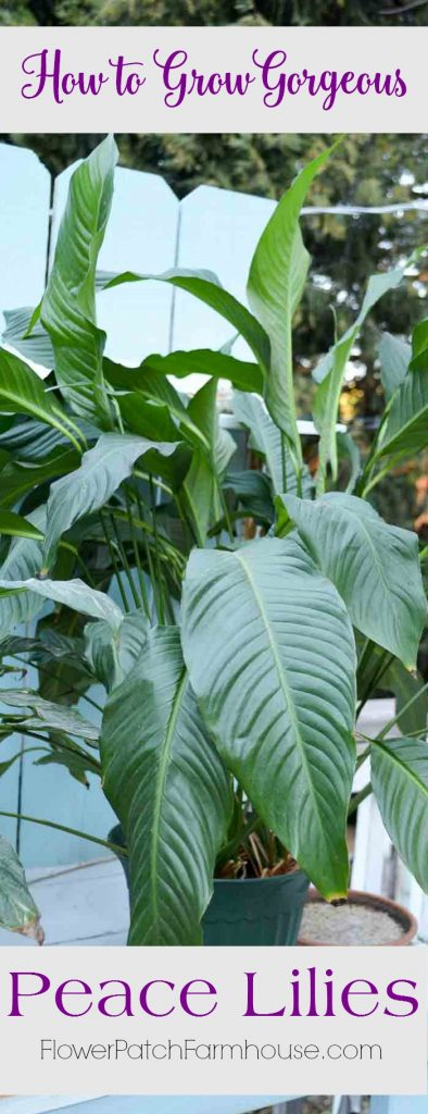 How to care for Peace Lily house plant. Easy for everyone to grow beautifully nearly anywhere.