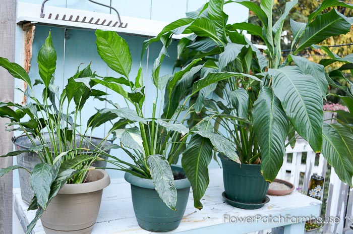 Caring for your Peace Lily