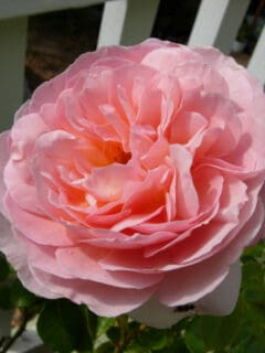 Abraham Darby rose at Flower Patch Farmhouse