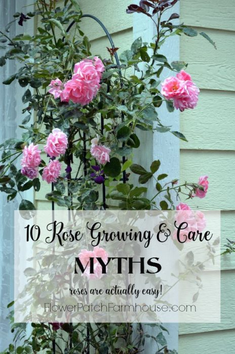 Roses are much easier to grow than most people think! Here are ten rose growing myths debunked. Grow beautiful roses with much less effort than you thought.
