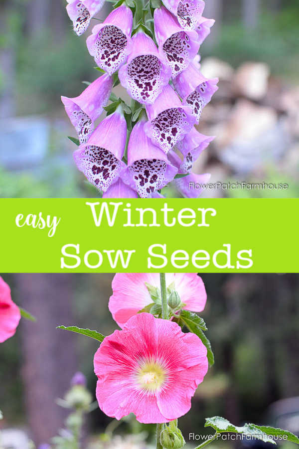 easy Winter Sow Seeds, foxgloves, hollyhocks and more