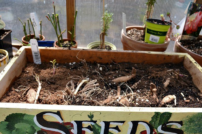 Dahlia tubers planted in wooden box of soil, Propagate Dahlias from Cuttings, Dahlia cuttings are a quick way to get more of what you love.