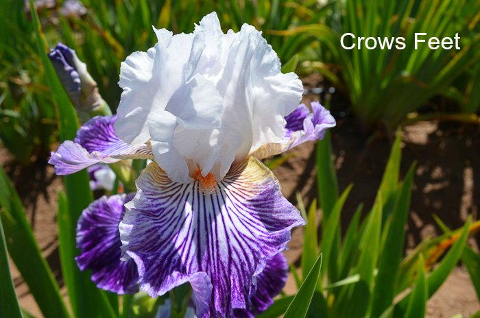 Plant Iris How to Do it Right Flower Patch Farmhouse