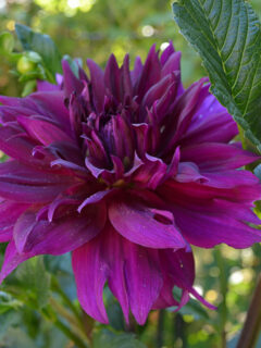 Propagate Dahlias from Cuttings, Dahlia cuttings are a quick way to get more of what you love.