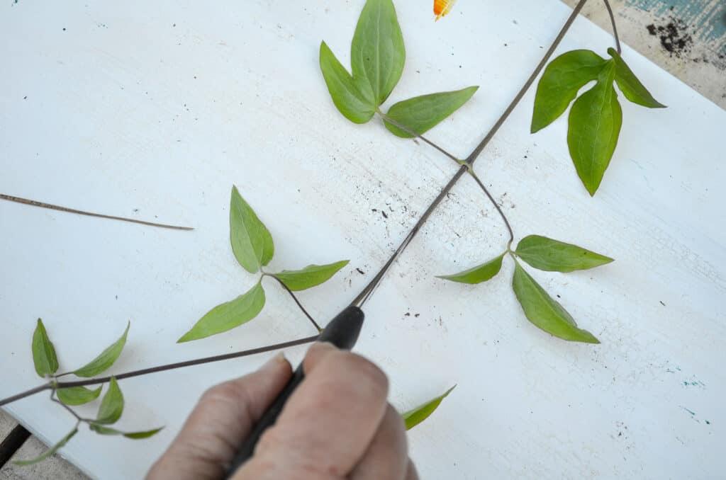 Slicing clematis vine between leaf nodes