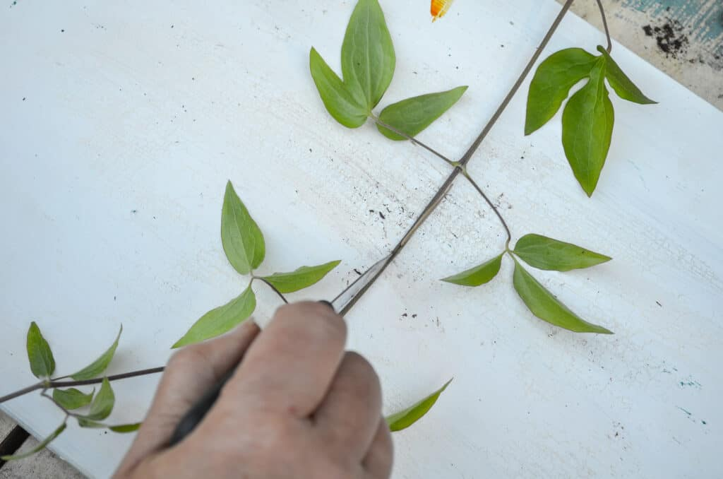 separating cut Clematis vine with tooth pick