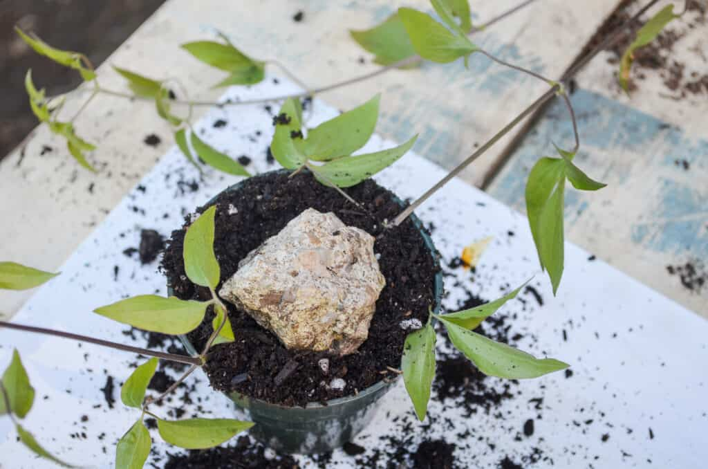 A stone holding a clematis vine under the soil for rooting