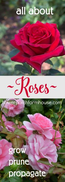 All about roses, how to grow, propagate and prune. One stop shop for your rose care tips, tricks and solutions.