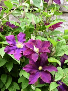 Warsaw Nike clematis, propagate clematis by layering,