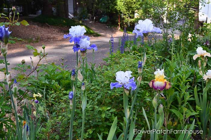 iris and lupines garden tour late may 2017