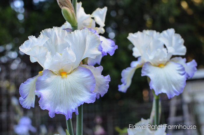 Iris, garden tour late may 2017