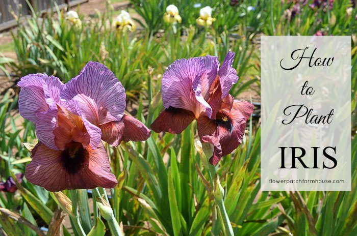 how to plant, grow and propagate Iris. Iris are an easy garden plant that even beginners can have success with