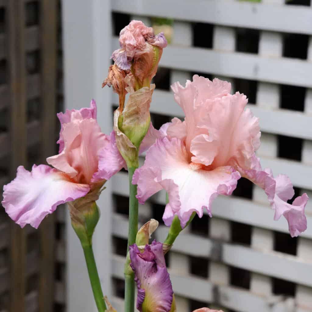Pink Iris in garden
