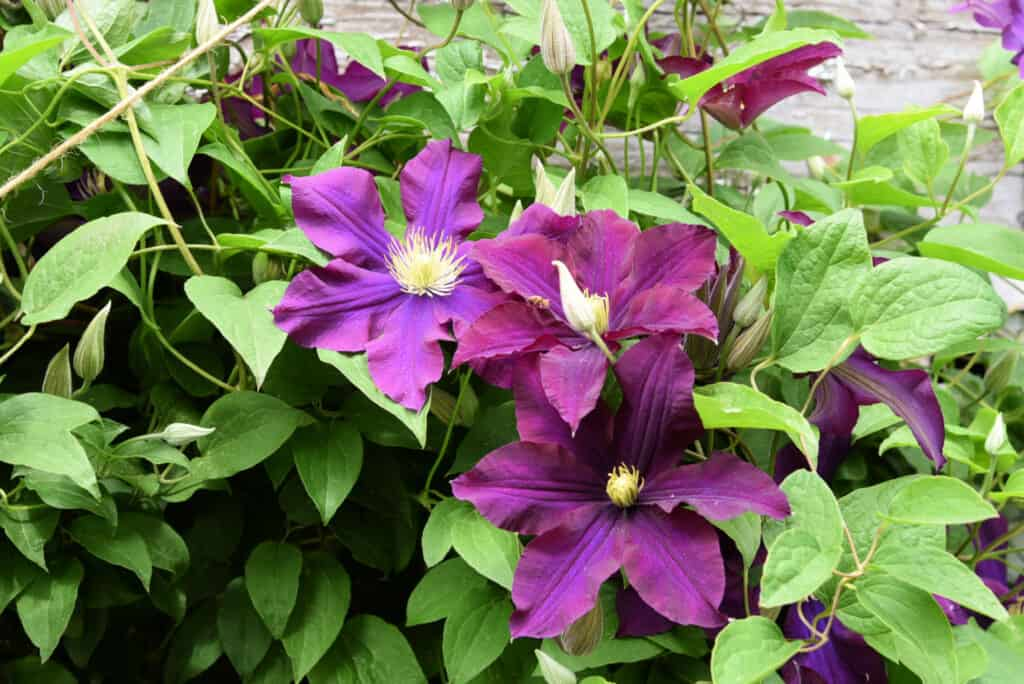 Warsaw nike clematis, propagate clematis by layering