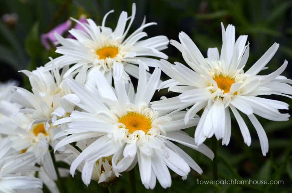 shasta daisy, crazy daisy variety, how to grow daisies
