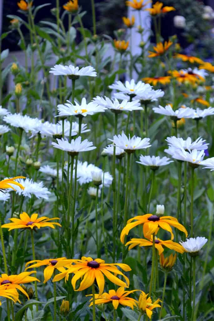 Daisies and rudbeckia flowers, flower patch farmhouse