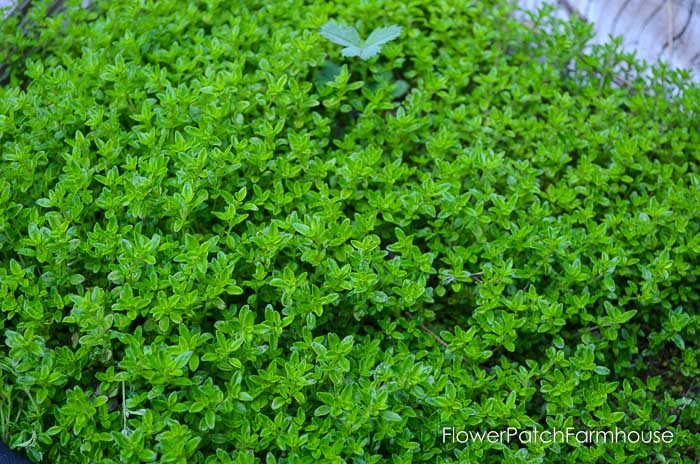 Lime Thyme a ground cover plant with a citrus scent