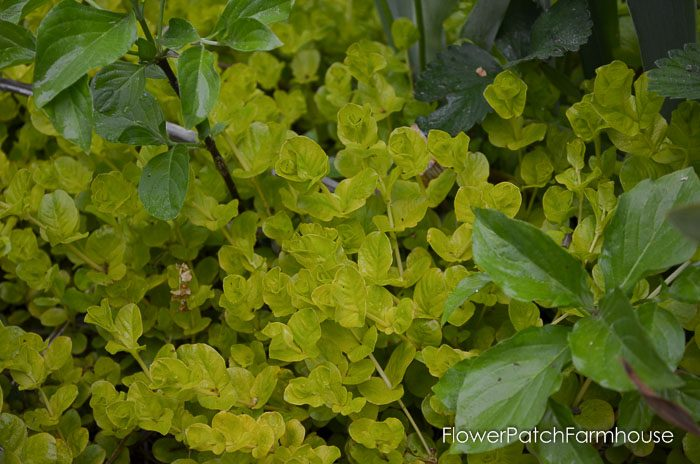 Gorgeous Groundcovers, Creeping Jenny