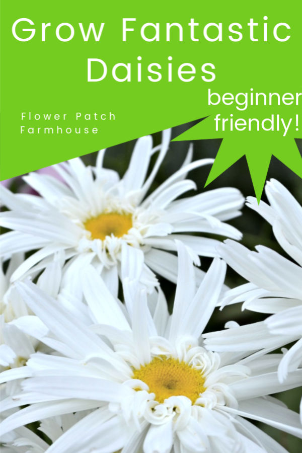 Daisies with text overlay, Grow Fantastic Daisies, beginner friendly, Flower Patch Farmhouse