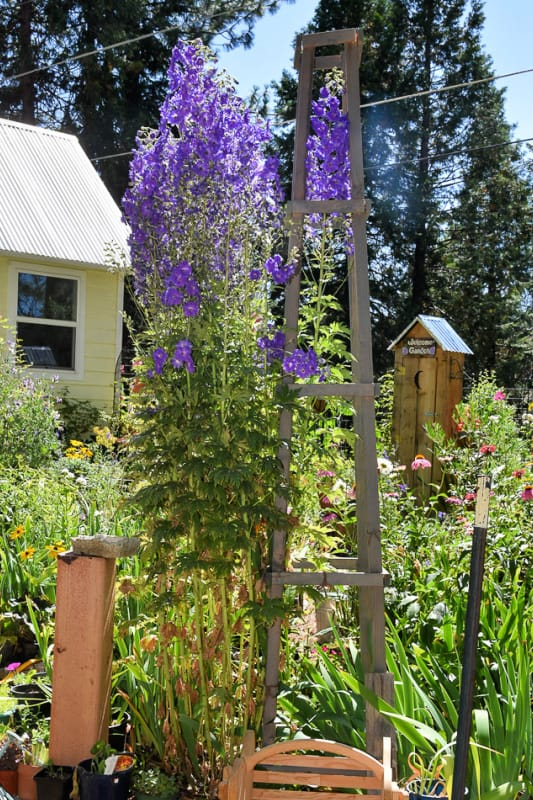 Pagan Purple Delphiniums supported by obelisk, Flower Patch Farmhouse dot com