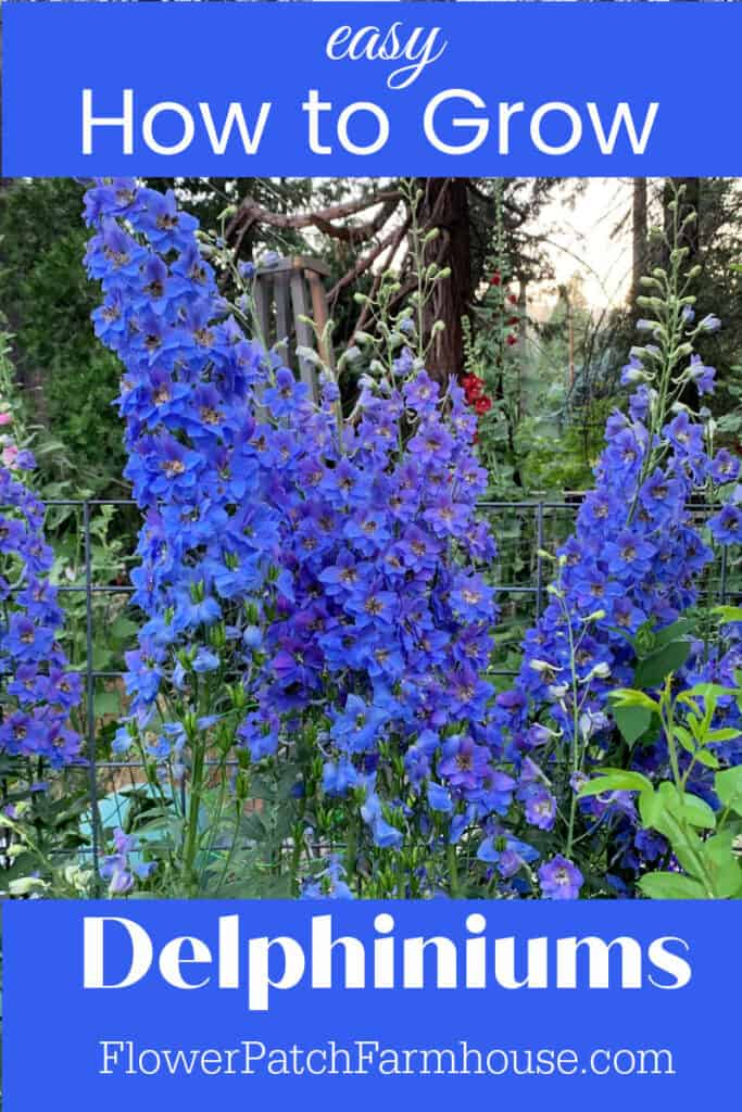 Blue Delphiniums with text overlay, easy How to Grow Delphiniums, Flower Patch Farmhouse dot com