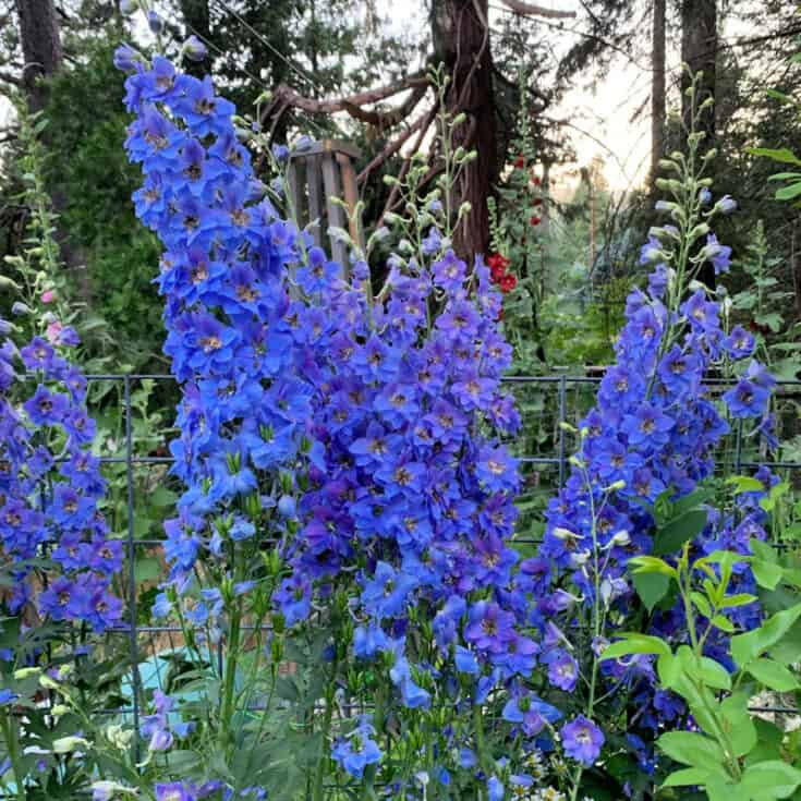how to grow delphiniums, flower patch farmhouse