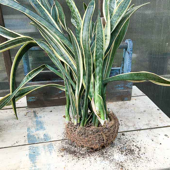 overgrown snake plant, How to Divide Sansevieria or Snake Plant
