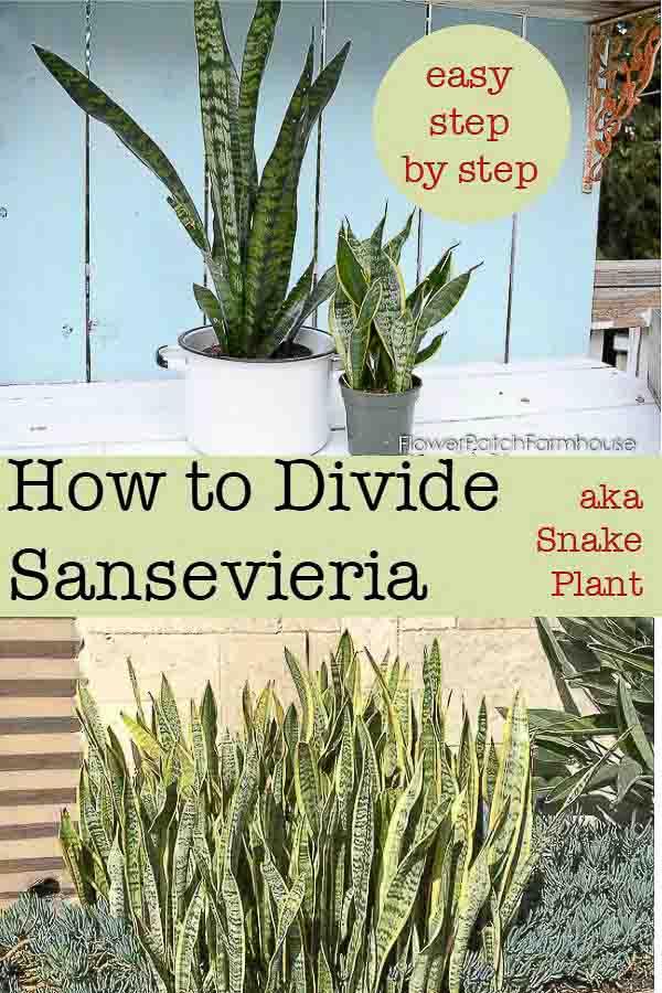 Sansevieria plant aka snake plant, how to divide, Flower Patch Farmhouse