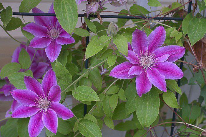 Spring pruning my clematis