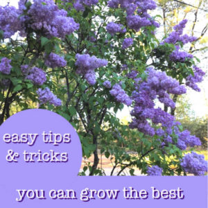 lilac bush with text overlay, easy tips and tricks you can grow the best lilac bushes, flower patch farmhouse