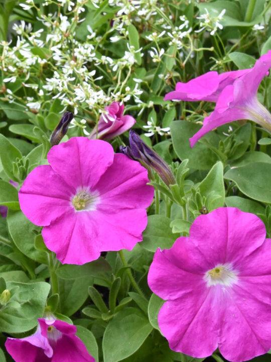 pink petunias and euphorbia