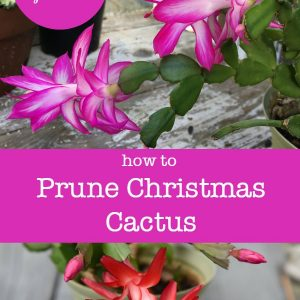 How to Prune Christmas Cactus for a bushier and healthier plant. And/or keep it a manageable size! Video included. Easy and you get to create new plants with your pruning to give as gifts. #christmascactus #houseplants #indoorgarden #winterflowers #pruning #propagation #Schlumbergera, christmas cactus in bloom