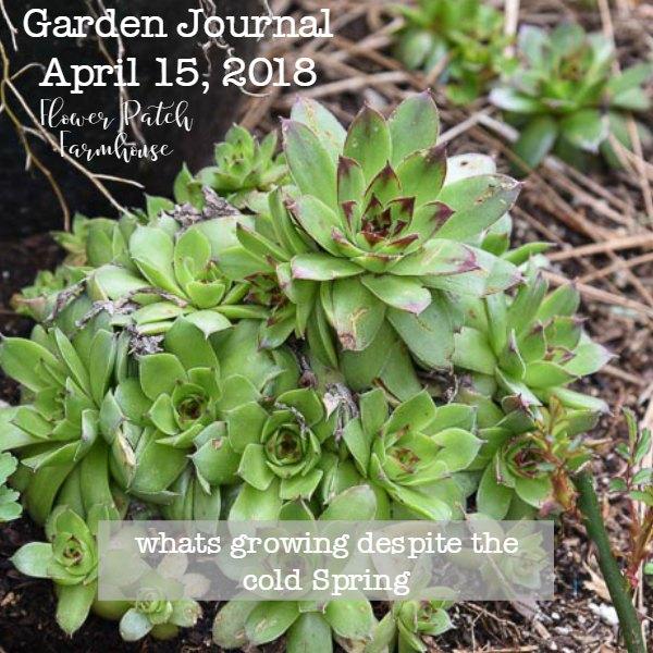 Hens and Chicks, Sempervivum, Garden Journal April 15 2018