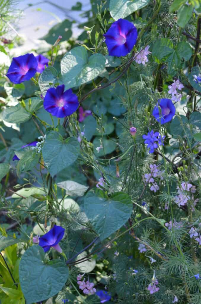 Morning glory on trellis, poisonous flowers