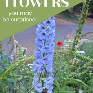 Blue delphinium with text overlay, 10 poisonous flowers, you may be surprised, flower patch farmhouse