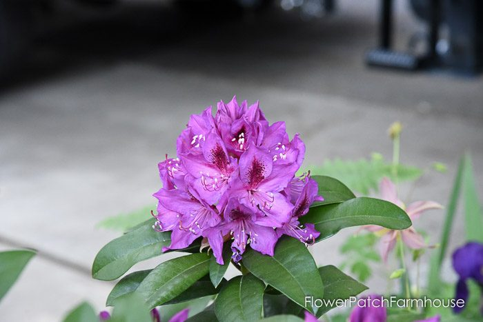 Rhododendron, Garden Journal May 17th and 24th