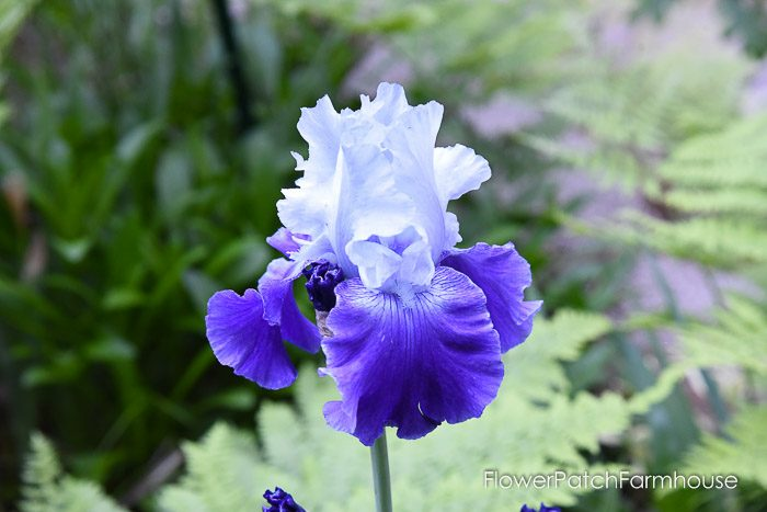 Blue on blue Iris, Garden Journal May 17th and 24th